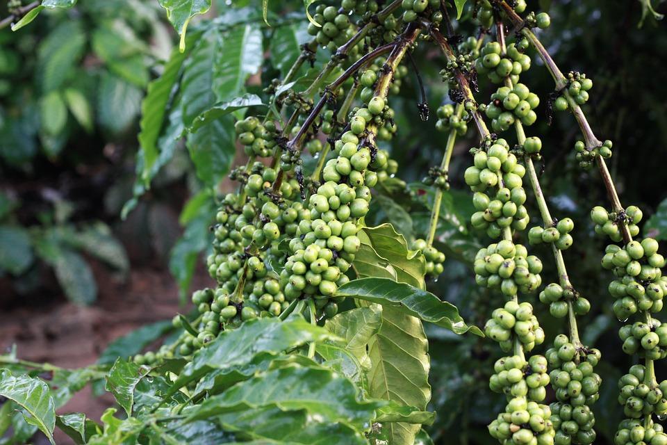 dove comprare il caffè verde