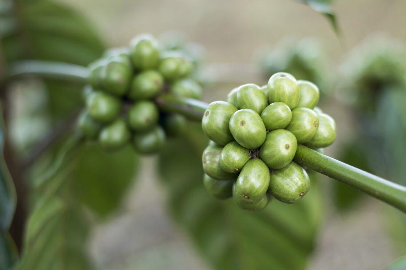 colesterolo di caffè verde in grani